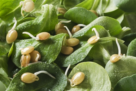 bean sprouts: Fresh green salad with bean sprouts close up Stock Photo
