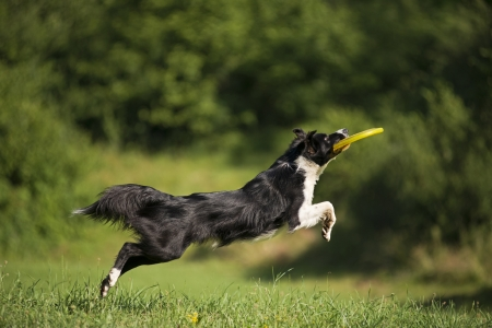 border collie: Border collie catching flying disc close up shoot Stock Photo