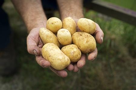 potato plant: Man holding freshly dug potatoes in hands