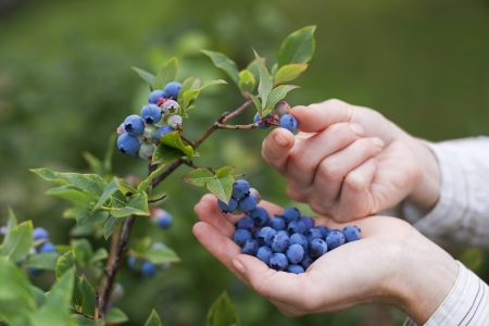 Women picking ripe blueberries close up shoot Stock fotó