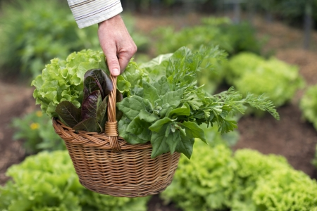 Woman holding basket full of salads close up photo