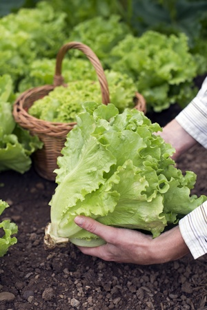 Woman picking fresh salad on the garden close up photo