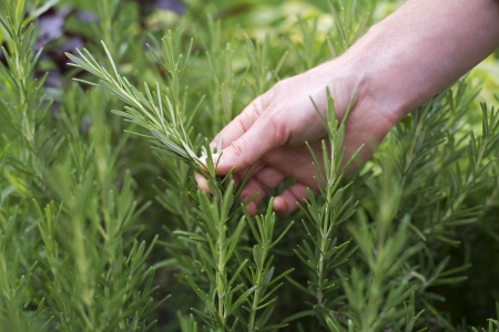 Woman picking fresh rosemary on the garden close up Banco de Imagens