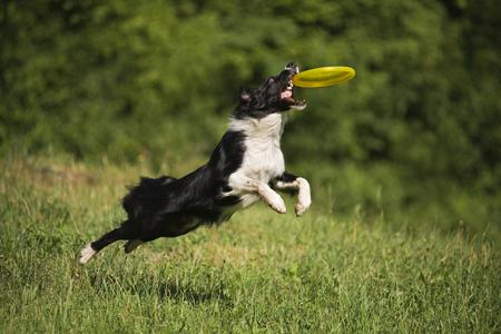 atrapar: Border collie coger el disco volador en el prado verde