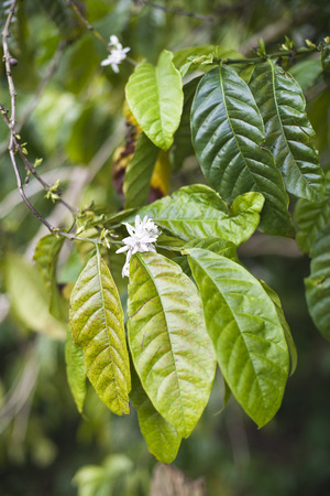 Coffe tree with leaves and white flowers close up photo