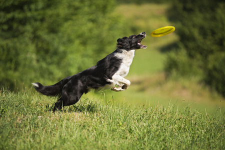 Border Collie jumping and catching flying disc outdoors