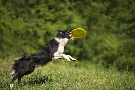 Border collie dog catching the frisbee on the green meadow