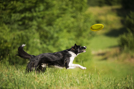 catching: Border collie dog catching frisbee on the green meadow.