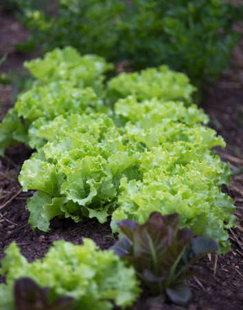 lettuce: Rows of fresh lettuce leaves on a garden. Stock Photo