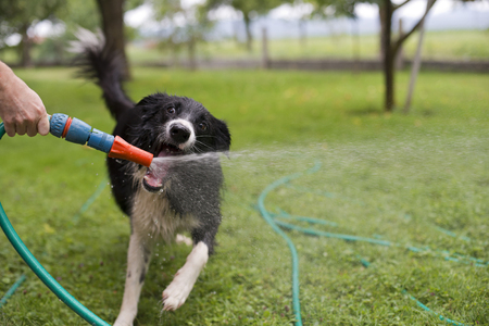 A dog playing with water from a garden hose. Stockfoto