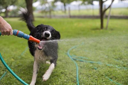 Un perro que juega con agua de una manguera de jardín.