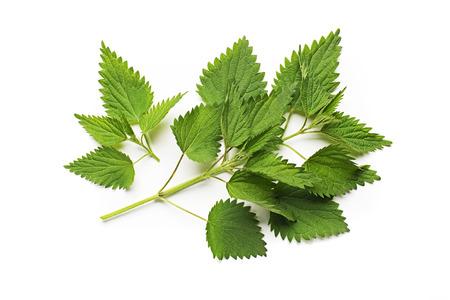 nettle: Nettle fresh green leaves on a white background.