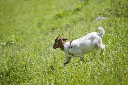 graze: Young Goat graze on the green summer meadow.