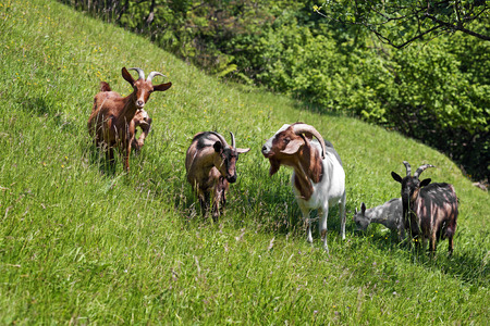 graze: Goats graze on the green summer meadow.