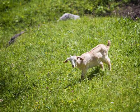 graze: Goat graze on the green summer meadow.