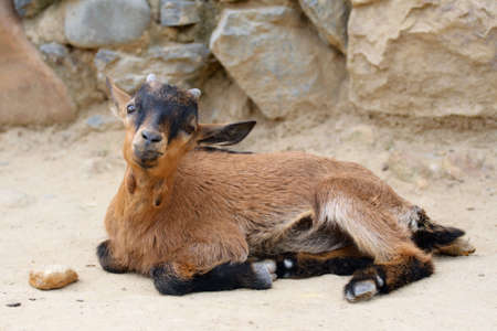 he goat: Little beauty goat with long ears get tired. He lie and rest aland.  Stock Photo