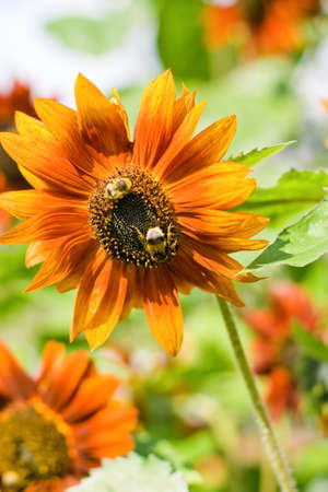 assiduous: Ornamental orange plant sunflower and two assiduous bee