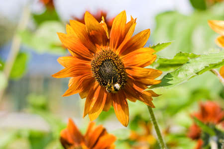 assiduous: Ornamental orange plant sunflower and assiduous bee Stock Photo