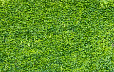 encroach: Green ivy wall.  Texture or background. A lot of leaves.