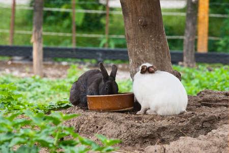 grassy plot: Dos conejos en blanco y negro de comer de su plato.