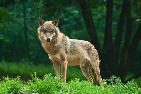 lobo: Un lobo en la verde colina de pie y mira la fotograf�a. Foto de archivo