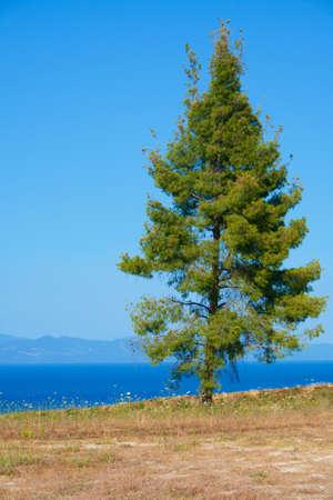 brink: One pine tree on the very brink of precipice. Sky and sea. Greece, Halkidiki, Kassandra.