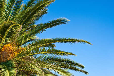 Leaves and fruits of date palm on the blue sky background.  photo