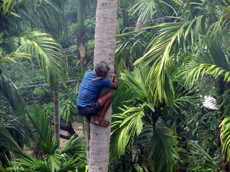 traditional climbing: A deft man climbing palm tree to trim branches and  pluck fruit.