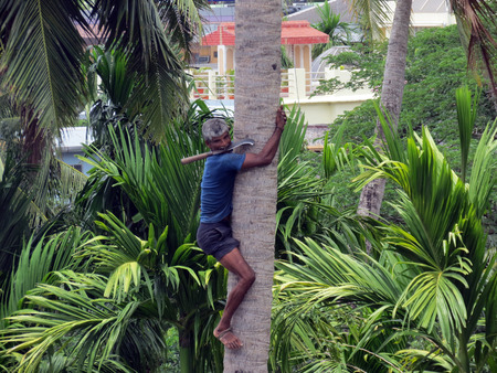 pluck: A deft man climbing palm tree to trim branches and  pluck fruit.