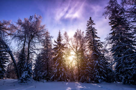 Winter forest covered in snow in the rays of the setting sun