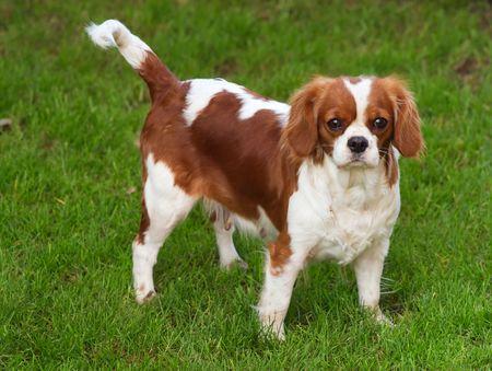 Dog - Cavalier charles spaniel photo