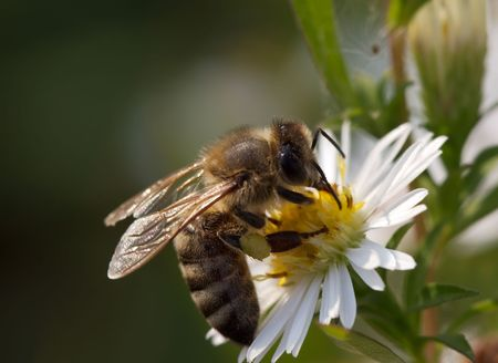 stamen wasp: Bee in the flower (Macro)