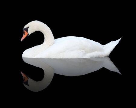 pelage: Isolated swan on black Stock Photo