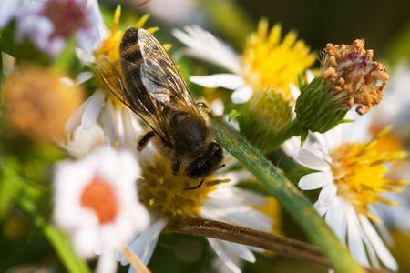 stamen wasp: Bee on the flower (Macro) Stock Photo