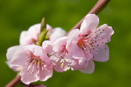 Cherry blossom in spring time (green background) photo