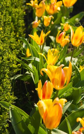 perianth: Line of colored tulips in a park Stock Photo