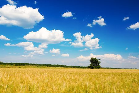 outfield: Corn field, tree and blue cloudy sky (ideal for background or wallpaper) Stock Photo