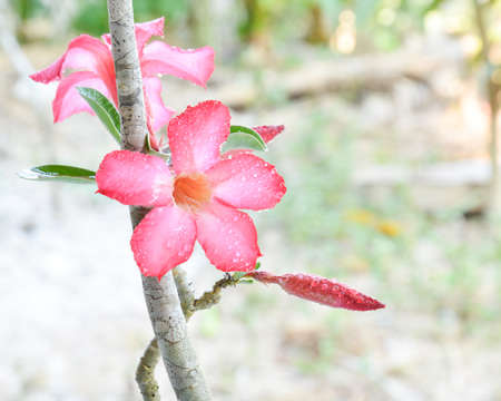 impala lily: beautiful pink impala lily in the garden Stock Photo