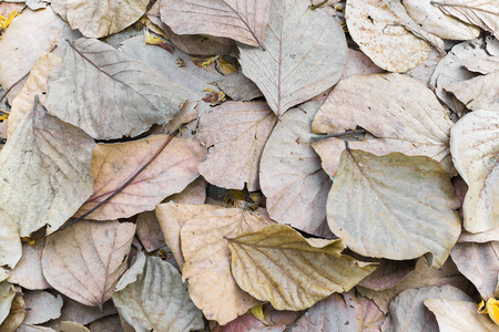 sear and yellow leaf: Dry brown leaves on ground