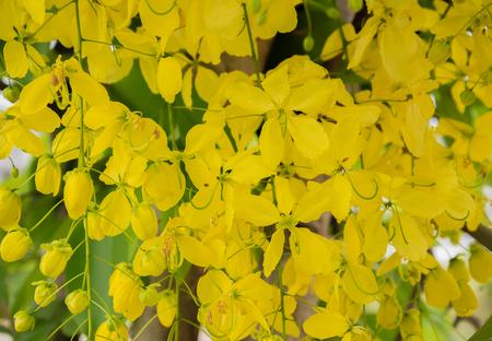 golden shower: Flowers of Golden Shower.
