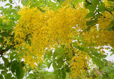 golden shower: Flowers of Golden Shower tree.