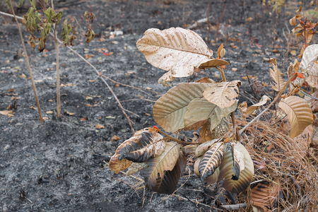 sear and yellow leaf: Dry leaves after fire Stock Photo
