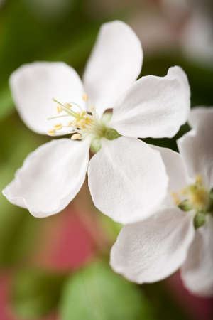 apple tree blossom Stock Photo - 4501384