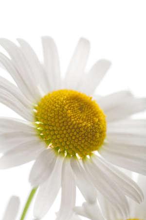 beautiful camomole flower isolated Stock Photo - 4501366