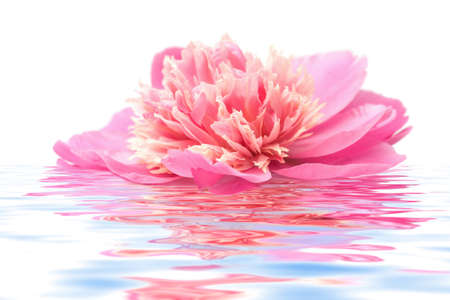 pink peony flower floating in water isolated