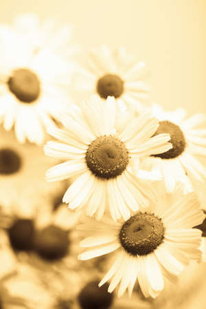 camomile flowers toned yellow Stock Photo - 4502122