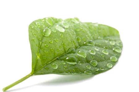 wet leaf: wet leaf isolated