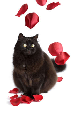 black cat and rose petals photo