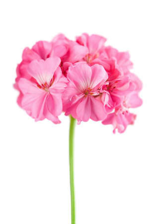Pink geranium flower isolated stock photo picture and royalty free pink geranium flower isolated stock photo 4547623 mightylinksfo