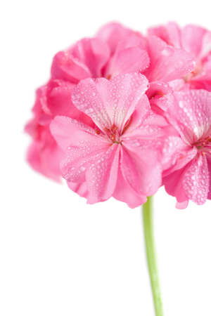 pink geranium flower with water droplets isolated photo